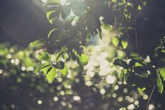 Green tree vintage soft light. With blur bokeh background Royalty Free Stock Images