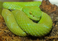 Green Tree Viper Snake. Close Up Of Green Tree Viper Wrapped Around Branch stock photography