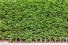 Green tree wall fence background Royalty Free Stock Photo