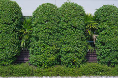 Green tree  wall in garden Stock Images