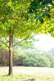 Green tree in warm light atmosphere Stock Photography
