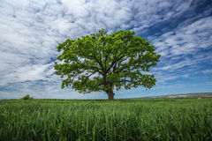 Green tree on the wheat field Stock Photography