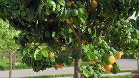 Green tree on which grow orange mandarins against a background of a grove of citrus trees that stand in large wooden. Pots. Slow Motion close-up stock footage