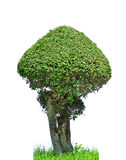 Green tree on white background Royalty Free Stock Images