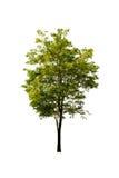 Green tree. On white background Stock Photos