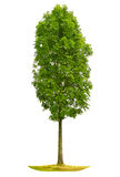 Green tree on white background. Isolated object Royalty Free Stock Photo