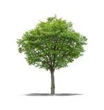 Green tree on a white background Stock Photos