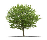 Green tree on a white background Royalty Free Stock Photo