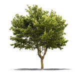 Green tree on a white background Stock Photo