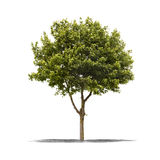 Green tree on a white background Stock Photography