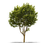 Green tree on a white background Royalty Free Stock Photography