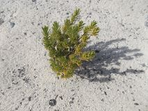 Green tree on white sand beach, Parasitic tree royalty free stock photography