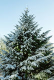 Green tree. On it with white snow in the background sky, winter, cold Stock Images