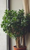 Green tree. On the windowsill Stock Images