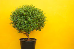 A green tree on a yellow background Stock Images