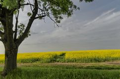 Green tree in the yellow colza field with blue sky Royalty Free Stock Image