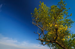 Green tree with yellow flowers in blue sunny sky. Green old tree with yellow flowers in blue sunny sky Royalty Free Stock Photo