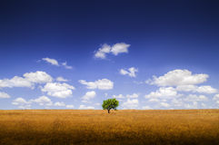 Green Tree on Yellow Land. Stock Images