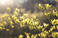 Green tree young leaves Royalty Free Stock Photography