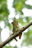 Green treefrog. Hyla Arborea (green treefrog) .Shallow DOF Royalty Free Stock Image
