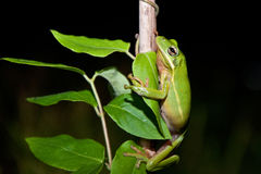 Green Treefrog Stock Image