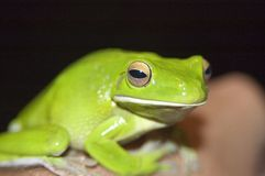 Green treefrog Royalty Free Stock Photography