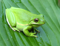 Green Treefrog. American green treefrog closeup on green leaf Stock Photos