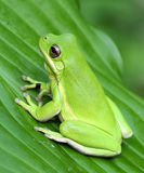 Green Treefrog. American green treefrog closeup on green leaf Royalty Free Stock Image