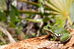 Barking Treefrog. A beautiful Barking Treefrog in the Florida Panhandle stock images