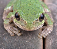 Green Treefrog Closeup Stock Image