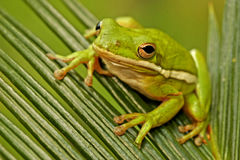 Green treefrog (Hyla cinerea). Sitting on a grass royalty free stock image
