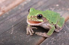 Green Treefrog, Hyla cinerea Royalty Free Stock Image