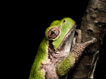 Green treefrog with orange eyes hangs on to brown branch Stock Images