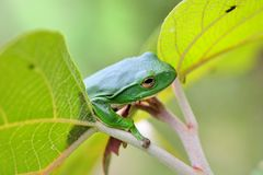 Green Treefrog. (Rhacophorus moltrechti) is Taiwan's endemic species Royalty Free Stock Photography