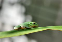 Green Treefrog. Taiwan green treefrog closeup on green leaf Stock Image