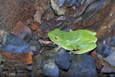 Green Treefrog  is Taiwan's endemic species. Green Treefrog (Rhacophorus moltrechti) is Taiwan's endemic species Stock Photo