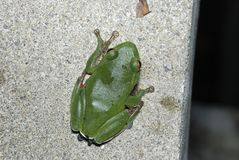 Green Treefrog  is Taiwan's endemic species Stock Image