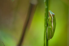 Green Treefrog. A vibrant Green Treefrog sleeps peacefully while clinging to some emergent vegetation in a South Carolina wetland royalty free stock photography
