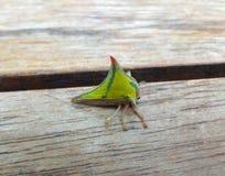 Green Treehopper Royalty Free Stock Photos