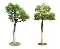Green trees isolated on white background Royalty Free Stock Images