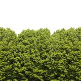 Green trees against a cloudy sky - image with copy space. Green trees against a white background - seamless texture Stock Photography