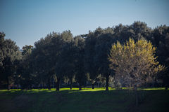 Green trees at Arno River in a sunny day. Vignette effect. Royalty Free Stock Photos