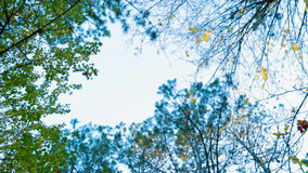 Green Trees In Autumn Forest. View on tree tops in autumn from the ground. Panning. Crimea stock footage