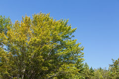 Green Trees on Blue Autumn Sky Royalty Free Stock Images
