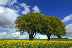 Green trees in countryside. Scenic view of green trees in countryside with yellow rapeseed field, blue sky and cloudscape background Stock Photography