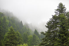 Green Trees, Forest foggy. Turkey's big forest at Bolu province in Turkey Stock Photos