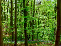 Green trees in the forest Royalty Free Stock Images