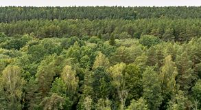 Spruces, fir and pine trees in wilderness of the Anyksciai woods. Green trees in a forest. Spruces, fir and pine trees in wilderness of the Anyksciai woods stock photos