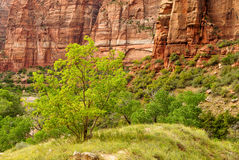 Green trees in front of red rock in Zion royalty free stock photography