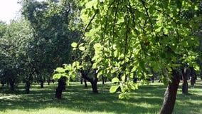 Green trees in the garden on the lawn. The sun illuminates foliage stock video footage